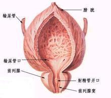 尿道炎模拟图